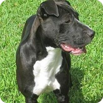 American Staffordshire Terrier/Great Dane Mix Puppy for adoption in Pompano Beach, Florida - King