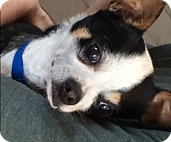 Chihuahua Dog for adoption in West Los Angeles, California - Parker