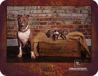 American Pit Bull Terrier Mix Dog for adoption in Des Moines, Iowa - DQ & the Mcflurries!