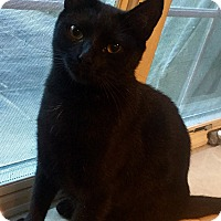 Domestic Shorthair Cat for adoption in Harrison, New York - Penny