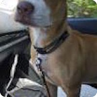 Labrador Retriever/Pit Bull Terrier Mix Dog for adoption in Satellite Beach, Florida - Mia
