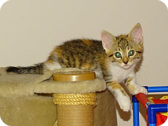 Abyssinian Kitten for adoption in Taylor Mill, Kentucky - Stella-Abby mix-coat of many c