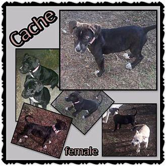 Collie/Shepherd (Unknown Type) Mix Puppy for adoption in Richmond, California - Cache