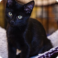 Domestic Shorthair Kitten for adoption in Mooresville, North Carolina - A..  Spookie