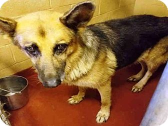 German Shepherd Dog Dog for adoption in Atlanta, Georgia - TAZ