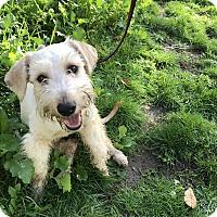 Schnauzer (Miniature) Mix Dog for adoption in Tumwater, Washington - Terri