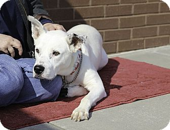 Labrador Retriever/Shepherd (Unknown Type) Mix Dog for adoption in Alpharetta, Georgia - Lucas