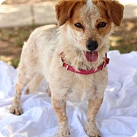 Adopt A Pet :: Polly - Gilbert, AZ