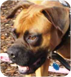 Boxer Dog for adoption in Sunderland, Massachusetts - Phoenix