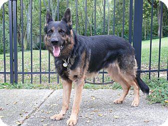 German Shepherd Dog Dog for adoption in Nashville, Tennessee - Maestro