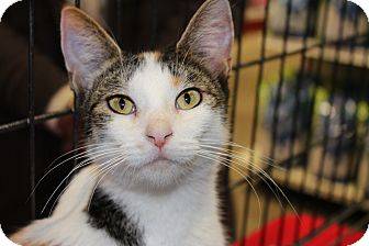 Calico Cat for adoption in Santa Monica, California - Sophia