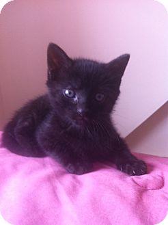 Domestic Shorthair Kitten for adoption in Island Park, New York - Spooks