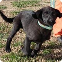 Adopt A Pet :: Sugar Pie - Brattleboro, VT