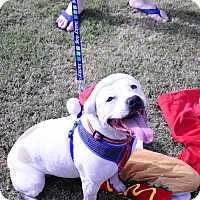 American Bulldog/English Bulldog Mix Dog for adoption in Hagerstown, Maryland - Courtney