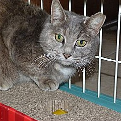Photo 2 - Domestic Mediumhair Cat for adoption in Stafford, Virginia - Mattie
