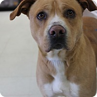 American Staffordshire Terrier Mix Dog for adoption in Yukon, Oklahoma - Julio