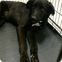 Adopt A Pet :: Shadow in CT - Manchester, CT