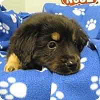 Adopt A Pet :: Dakota - Groton, MA
