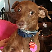 Adopt A Pet :: Papoose - Blanchard, OK