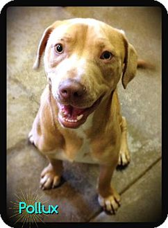 Labrador Retriever/Terrier (Unknown Type, Small) Mix Dog for adoption in Hartford City, Indiana - Pollux