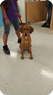 Hound (Unknown Type) Mix Puppy for adoption in San Antonio, Texas - Charley