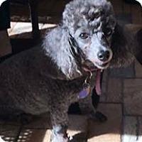 Poodle (Miniature) Dog for adoption in Brooksville, Florida - Angel