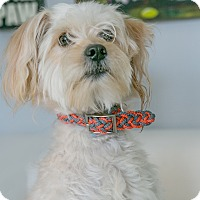 Terrier (Unknown Type, Medium)/Poodle (Standard) Mix Dog for adoption in Inglewood, California - Downtown