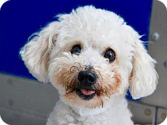 Maltese Mix Dog for adoption in Pico Rivera, California - Dohno