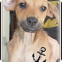 Adopt A Pet :: Sarge - Los Angeles, CA