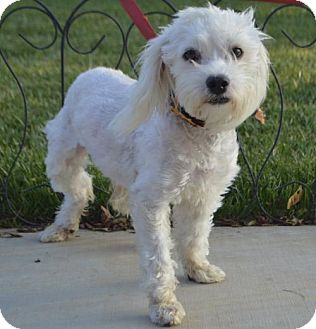 Maltese/Bichon Frise Mix Dog for adoption in Las Vegas, Nevada - Coconut
