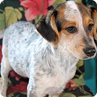 Catahoula Leopard Dog/Australian Cattle Dog Mix Dog for adoption in Ponca City, Oklahoma - Dallas