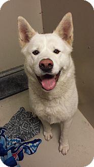 Akita Dog for adoption in Westminster, California - Katara