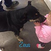 Adopt A Pet :: Zeus - Aurora, CO
