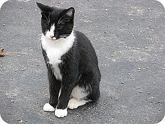 Domestic Shorthair Cat for adoption in Maxwelton, West Virginia - BooBoo