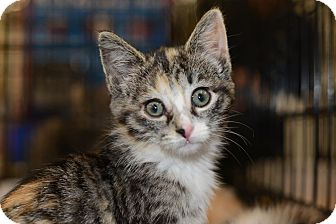 Calico Kitten for adoption in Harrisburg, North Carolina - Raven