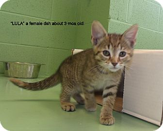 Domestic Shorthair Kitten for adoption in Gadsden, Alabama - Lula