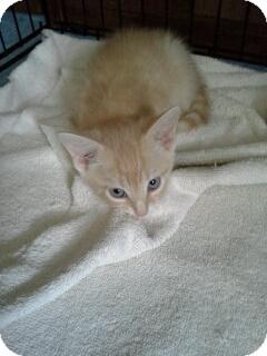 Siamese Kitten for adoption in Cranford/Rartian, New Jersey - Paulie