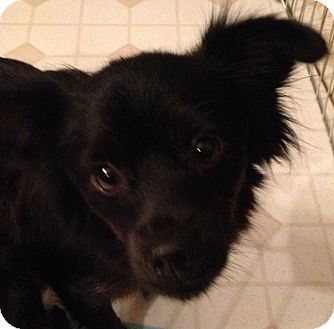 Merry Adopted Dog Fairview Heights Il Papillon