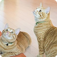 Adopt A Pet :: Cheddar & Colby - Chicago, IL