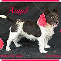 Adopt A Pet :: Angel - Plano, TX