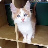 Adopt A Pet :: Oakley & Olaf (Twin Cuties!) - Arlington, VA