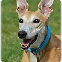 Adopt A Pet :: Ginger - Harrisburg, PA