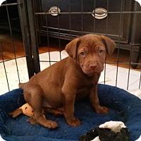 Adopt A Pet :: Sara - Alpharetta, GA