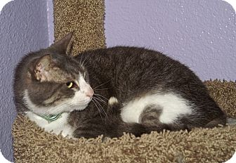 American Shorthair Cat for adoption in Englewood, Florida - Tuffy