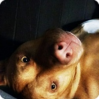 American Pit Bull Terrier Mix Dog for adoption in Des Moines, Iowa - Pappi