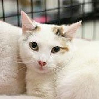 American Shorthair Cat for adoption in Westerly, Rhode Island - Bonniebelle