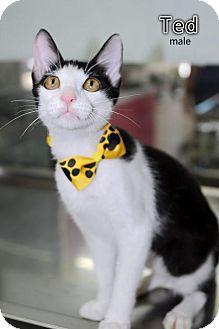 Oriental Kitten for adoption in Seattle, Washington - Ted Jang