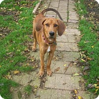 Redbone Coonhound Mix Dog for adoption in Baraboo, Wisconsin - Trigger
