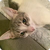 Adopt A Pet :: Cersi - Toronto, ON