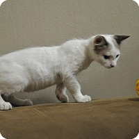 Domestic Shorthair Kitten for adoption in Manchester, Vermont - Skylar